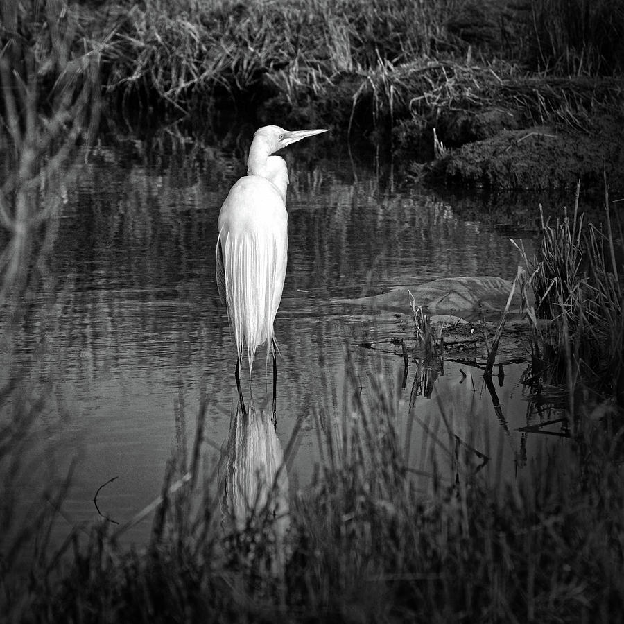 Assateague Island Great Egret Ardea alba in Black and White by Assateague Pony Photography