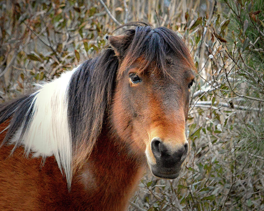Assateague Island Pony Patricia Irene by Assateague Pony Photography
