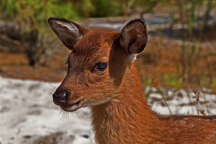 Assateague Island Sika Deer Fawn by Assateague Pony Photography