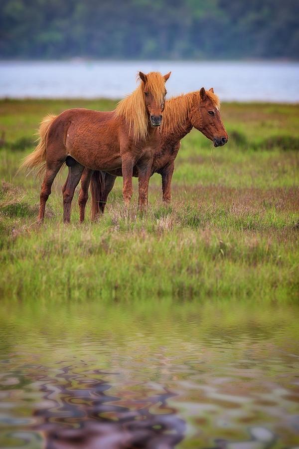 Horses Photograph - Assateague Ponies in the Marsh by Rick Berk
