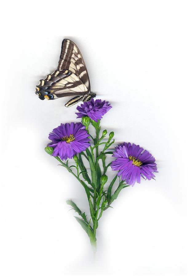 Aster Flower Mixed Media - Aster and Butterfly by Sandi F Hutchins