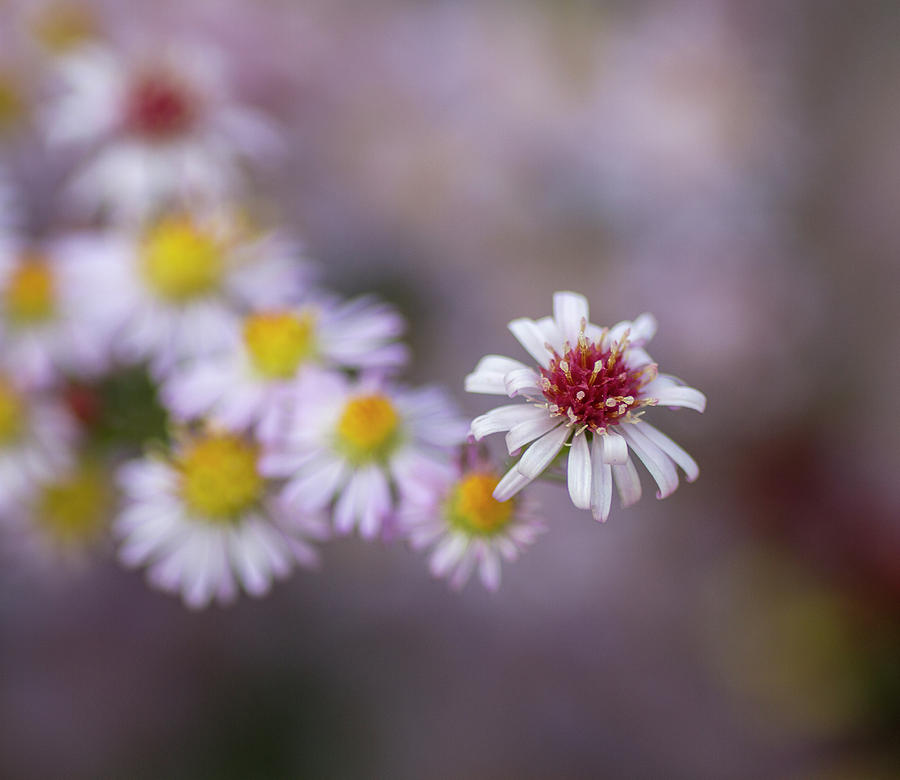 Aster  by Diane Fifield