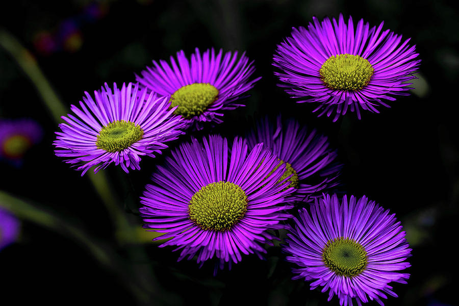 Flower Photograph - Aster Kickin by Linda Foakes