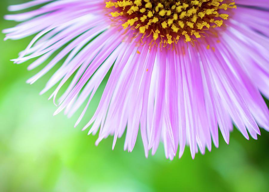 Aster Photograph - Aster petals by Konstantin Bibikov