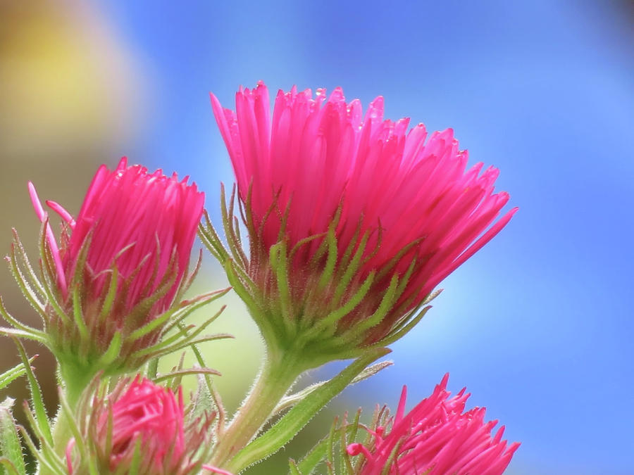 Aster Pink on Blue by MTBobbins Photography