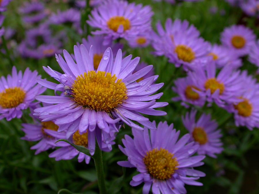Flower Photograph - Aster by Raju Alagawadi