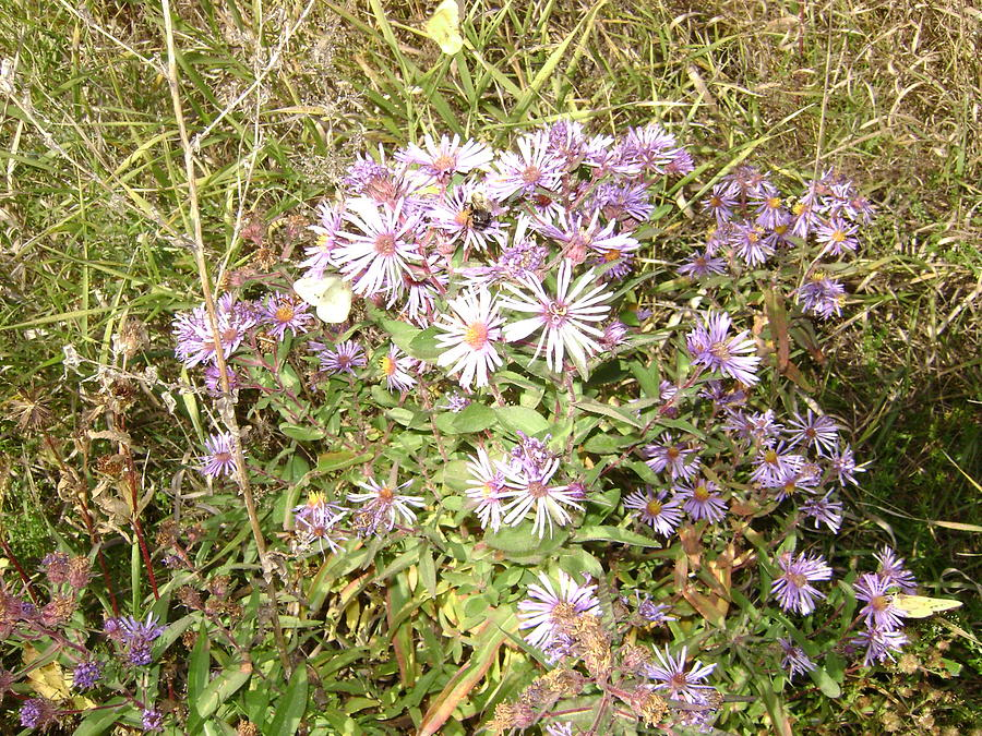 Wild Asters Photograph - Asters And Butterflies by Paula Prindle