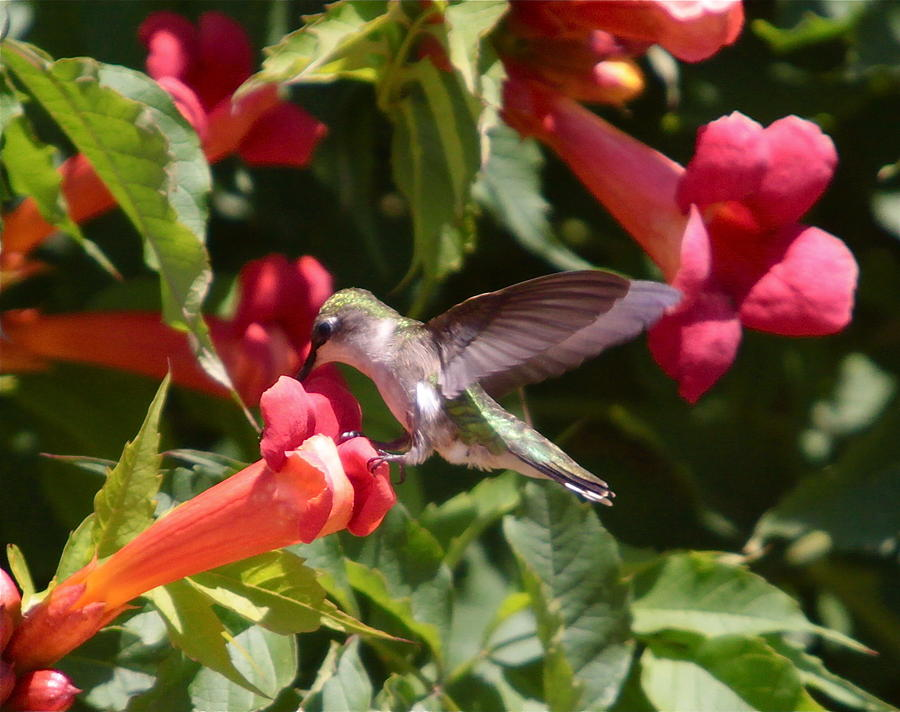 Humming Bird Photograph - Asweet Tooth by Robert Pearson