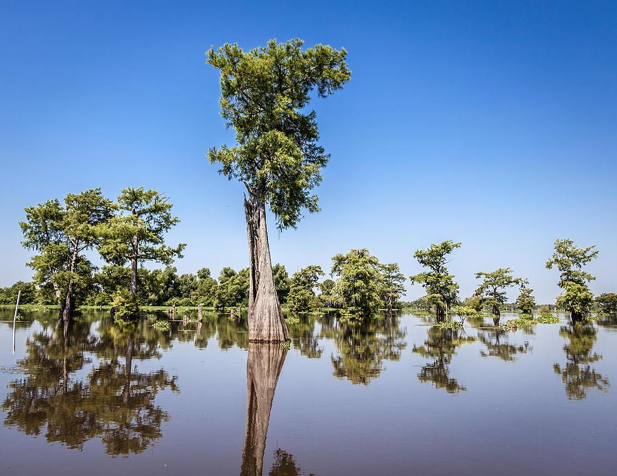 Atchafalaya Cypress Tree Photograph by Gregory Daley  MPSA