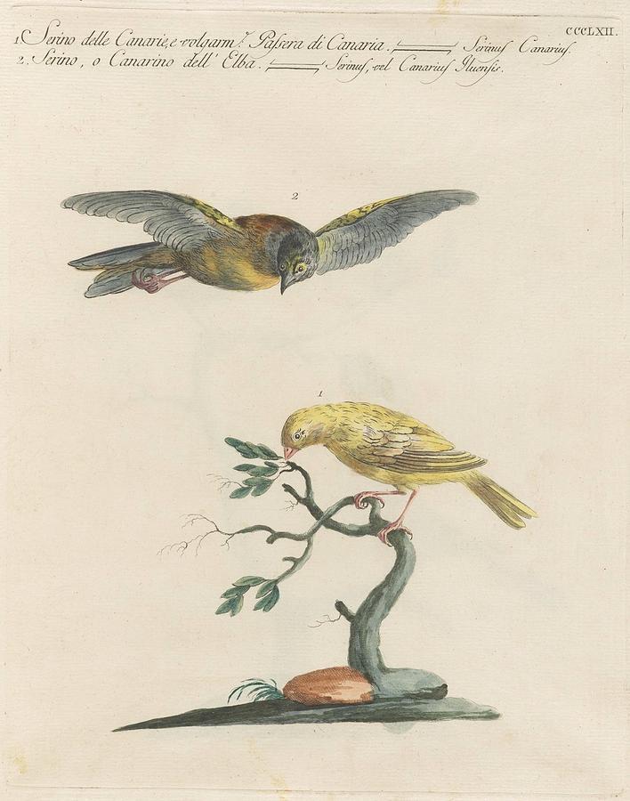 Atlantic Or Common Canaries - Serinus Canaria Painting
