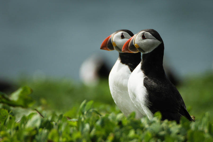 Atlantic Puffin Photograph - Atlantic Puffins by Andy Beattie Photography