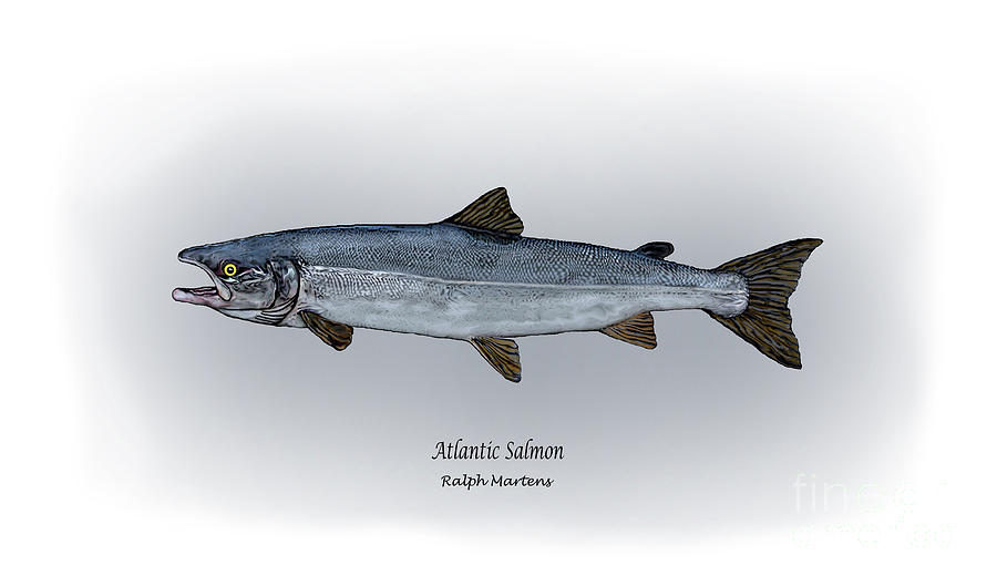 Atlantic Salmon Drawing - Atlantic Salmon by Ralph Martens