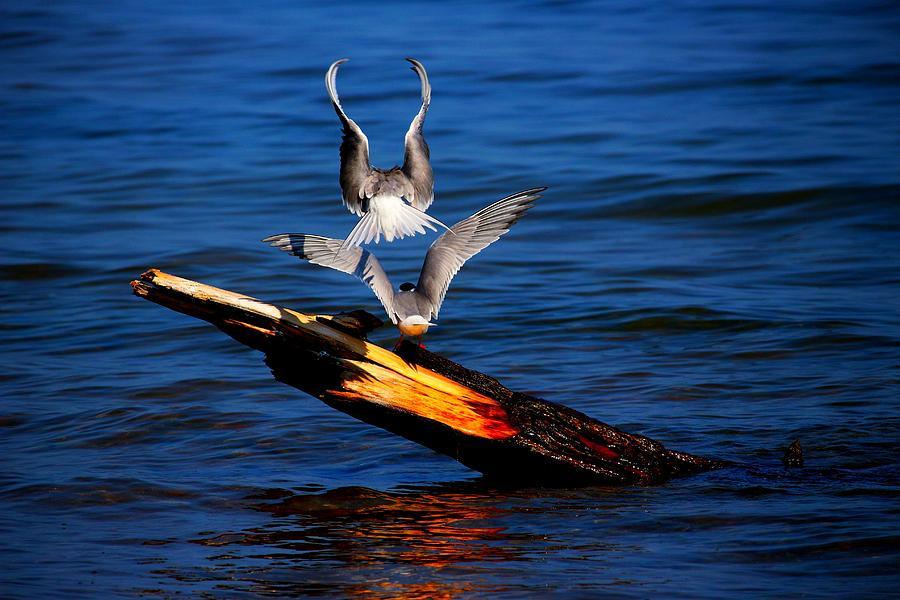 Bird Photograph - Atop A Tern by Amanda Struz