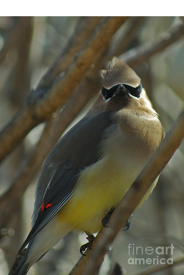Cedar Waxwing Photograph - Attitude II by Michelle Hastings