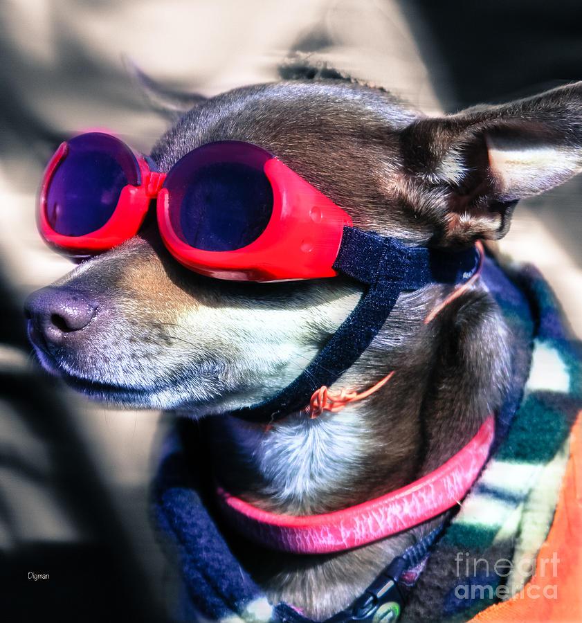 Chihuahua Photograph - Attitude  by Steven Digman