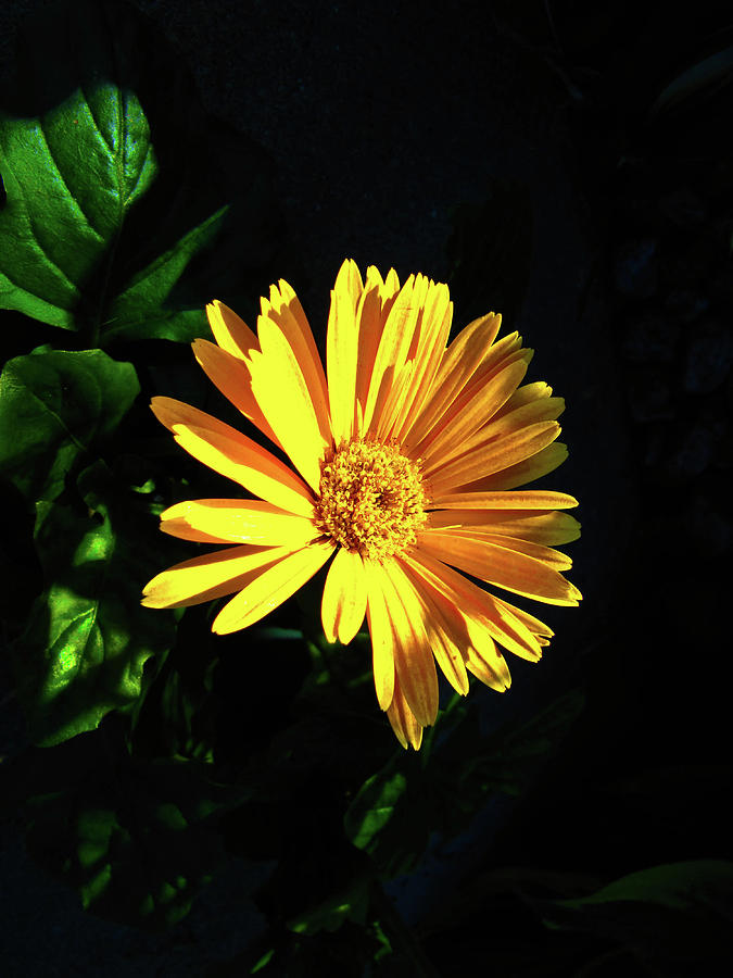 Flowers Photograph - Attracted To The Sun by Peter May