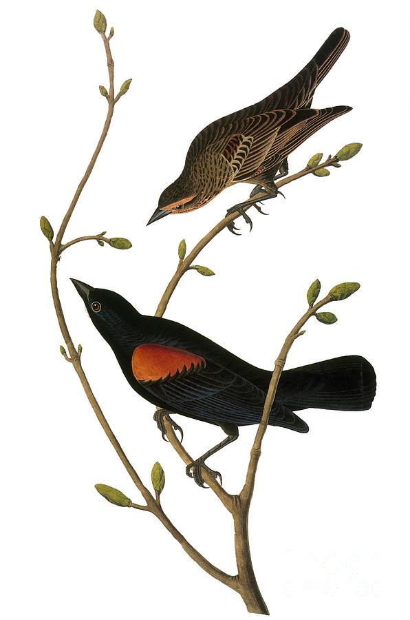 1838 Photograph - Audubon: Blackbird by Granger