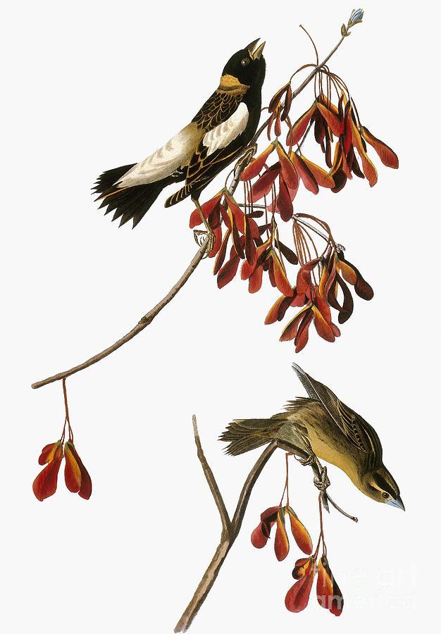 1838 Photograph - Audubon: Bobolink by Granger
