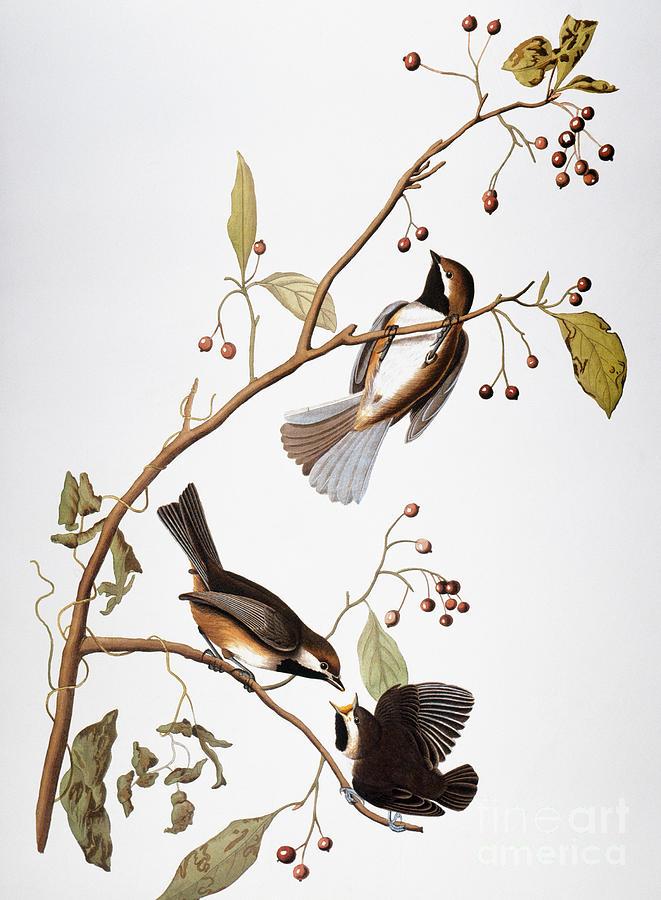 1838 Photograph - Audubon: Chickadee, (1827-1838) by Granger