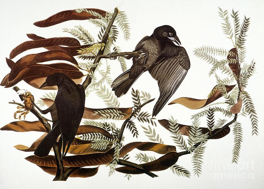 1838 Photograph - Audubon: Crow by Granger