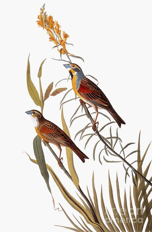 1838 Photograph - Audubon: Dickcissel by Granger