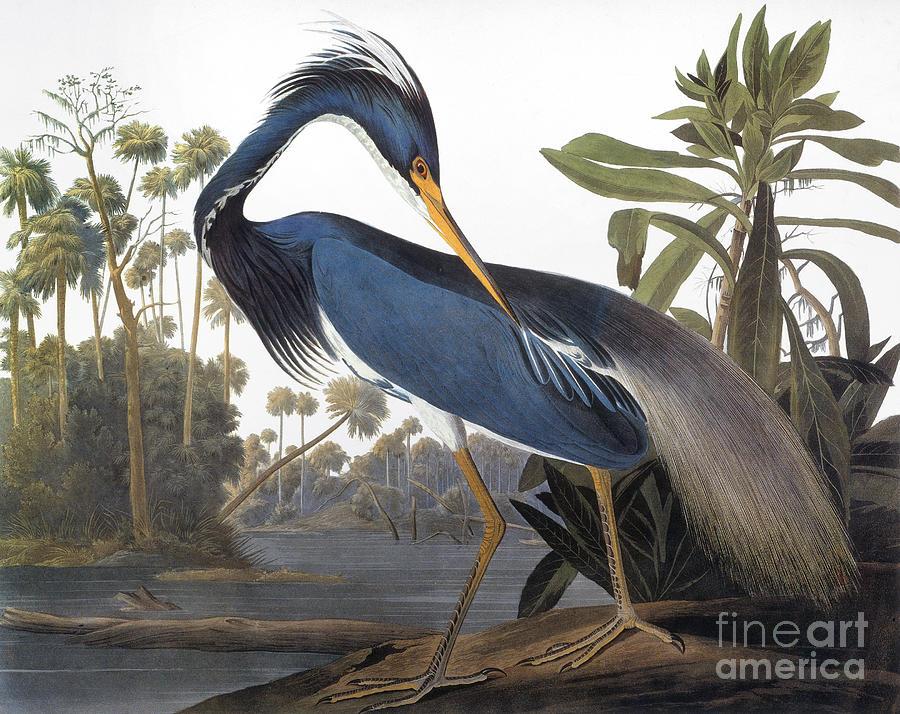 1827 Photograph - Audubon Heron, 1827 by John James Audubon