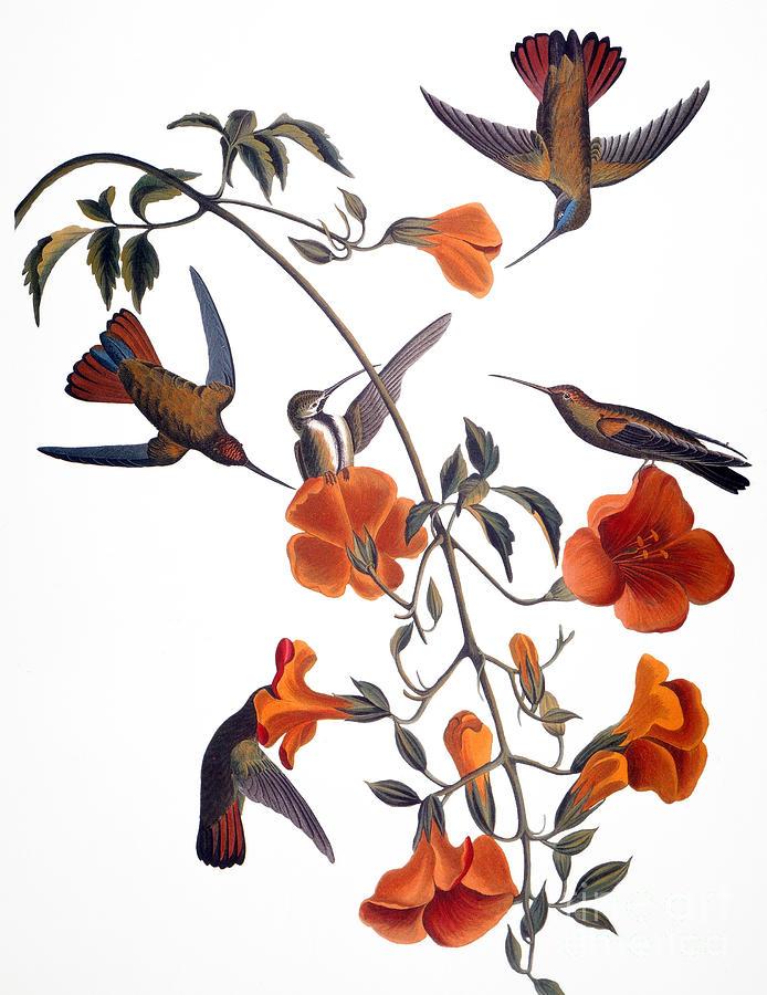 1838 Photograph - Audubon: Hummingbird by Granger