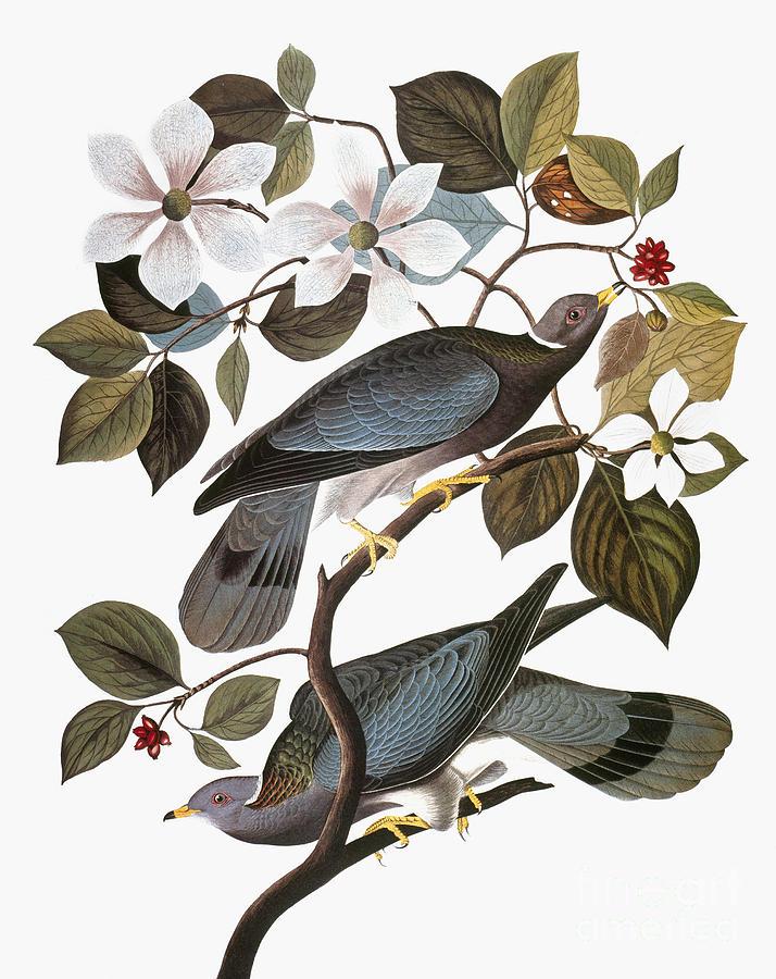 1838 Photograph - Audubon: Pigeon by Granger