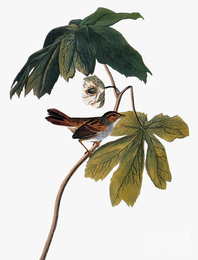 1827 Photograph - Audubon: Sparrow, 1827-38 by Granger