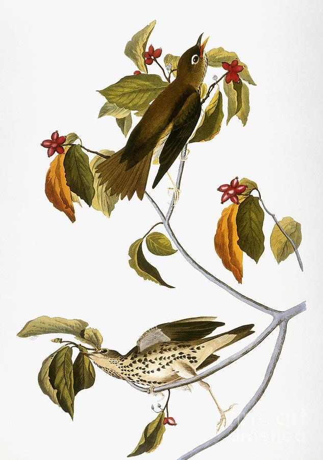 1838 Photograph - Audubon: Thrush by Granger