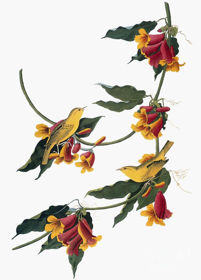 1827 Photograph - Audubon: Vireo, 1827-38 by Granger