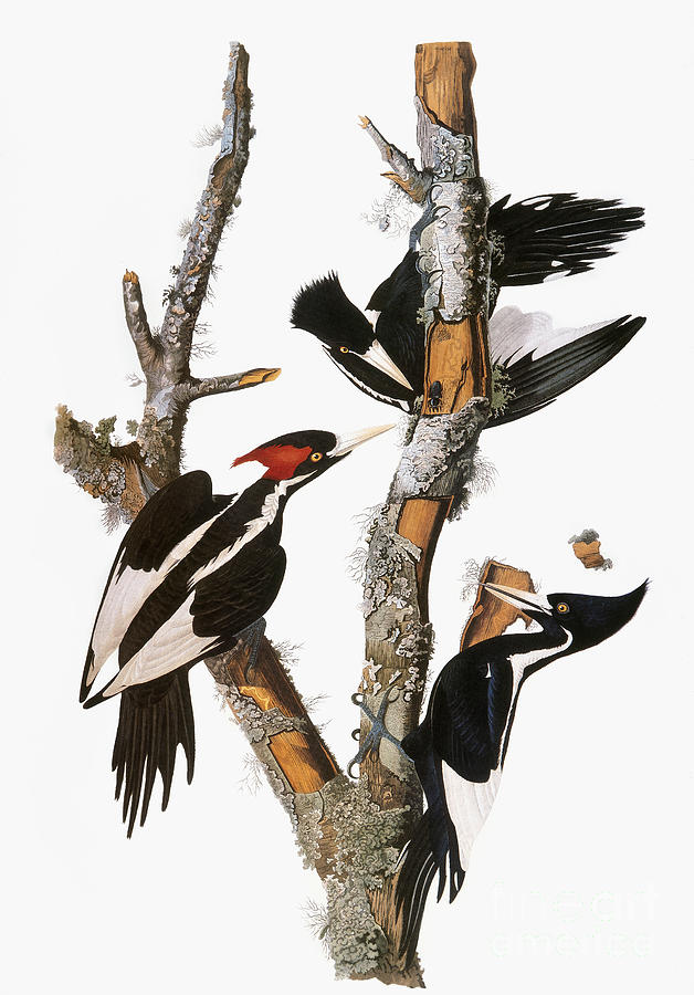 1838 Photograph - Audubon: Woodpecker by Granger