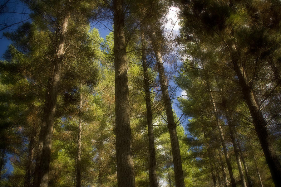 Far North Photograph - Aupouri Forest by Graham Hughes