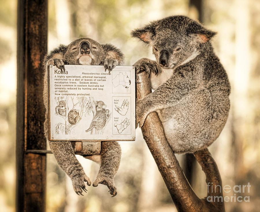 Animal Photograph - Koala Australia  by Juergen Held