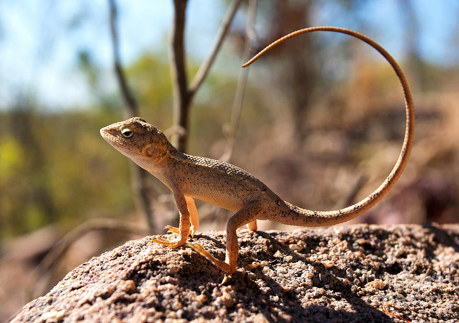 Australian Dragon Photograph by Bill  Robinson