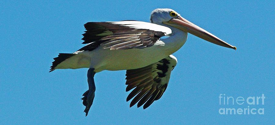 Pelican Photograph - Australian Pelican In Flight by Blair Stuart