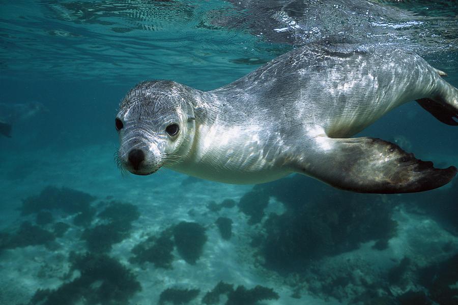 Mp Photograph - Australian Sea Lion Neophoca Cinerea by Hiroya Minakuchi