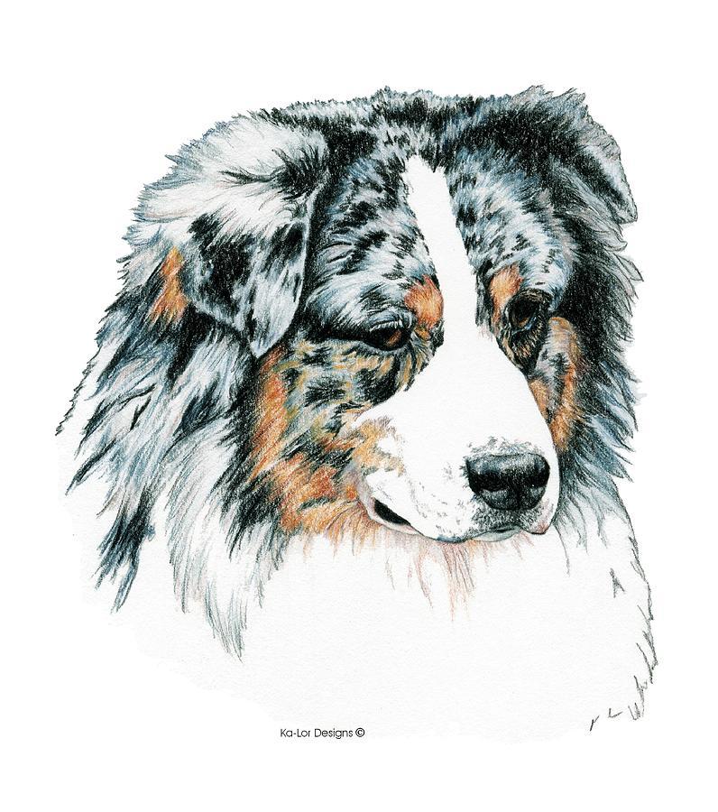 Aussie Drawing - Australian Shepherd, Blue Merle by Kathleen Sepulveda