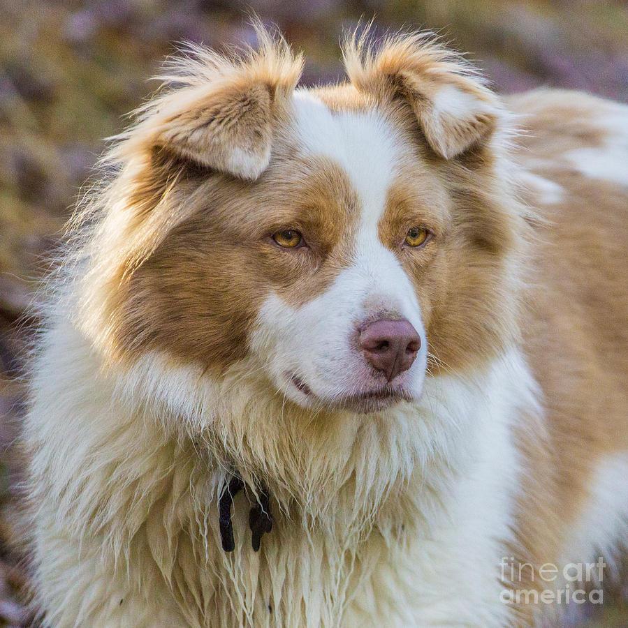 Australian Shepherd Dog by Fabrizio Malisan