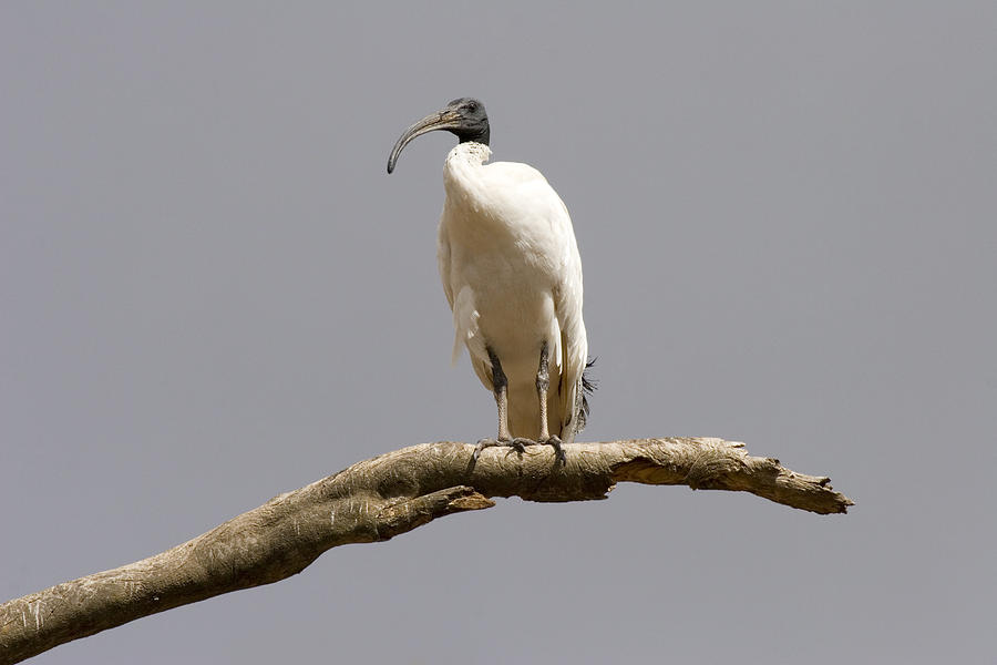 Ibis Photograph - Australian White Ibis Perched by Mike  Dawson