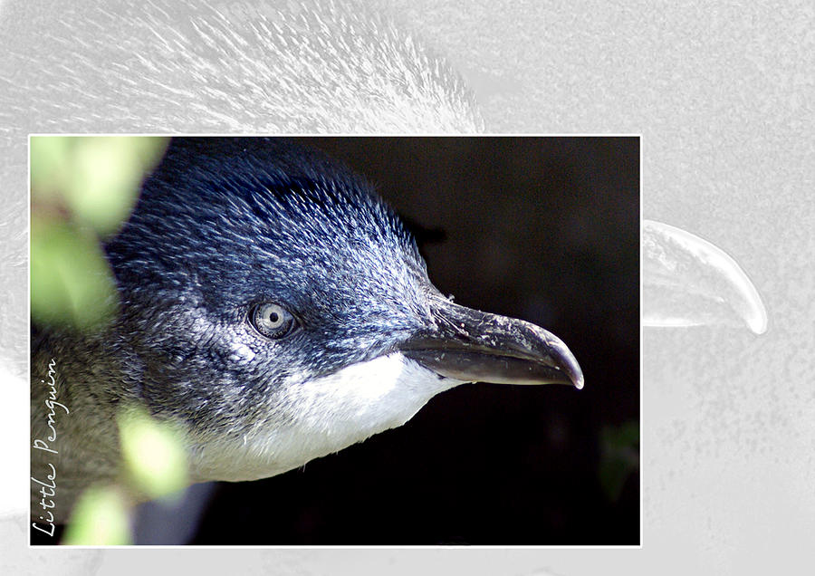 Animal Photograph - Australian Wildlife - Little Penguin by Holly Kempe