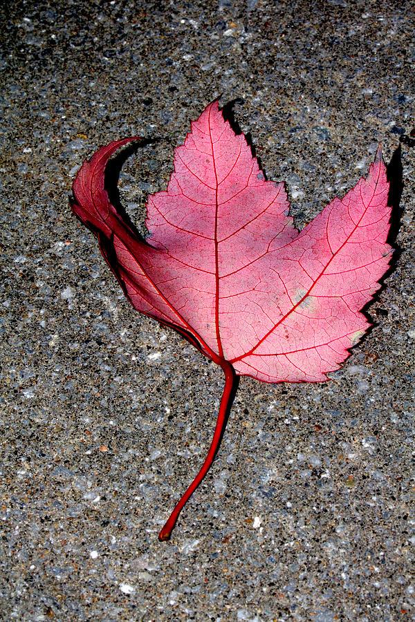 Autum Maple Leaf 2 by Robert Morin