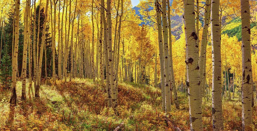 Lena Owens Digital Art - Autumn Aspen Forest Aspen Colorado Panorama by OLena Art Brand