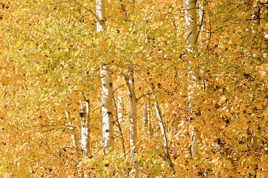 Cascade Mountain Range Photograph - autumn aspen leaves Populus tremuloides by Ed Book
