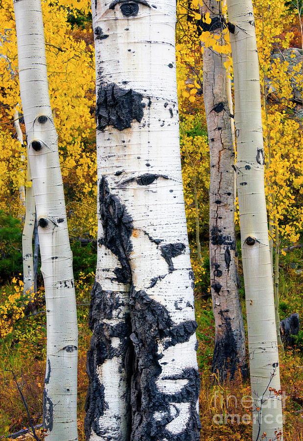 Aspen Leaves Photograph - Autumn Aspen by Mike Dawson