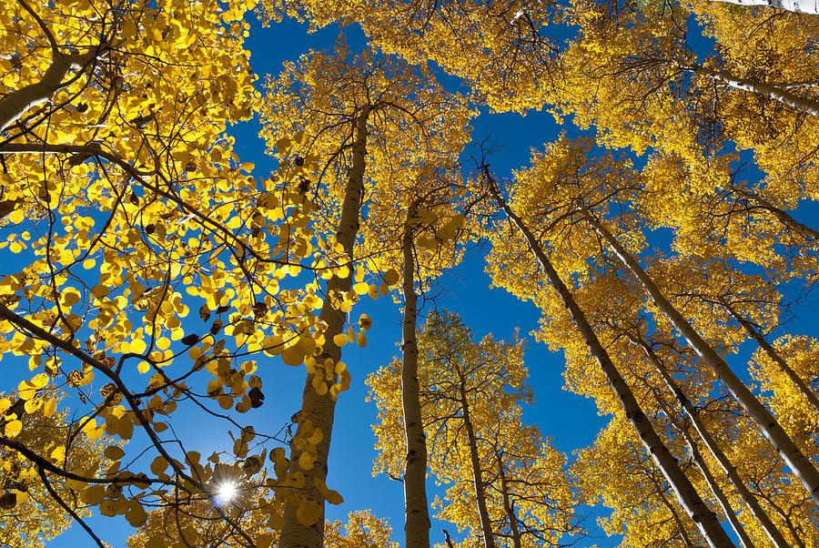 Autumn Aspen With Sunburst Photograph