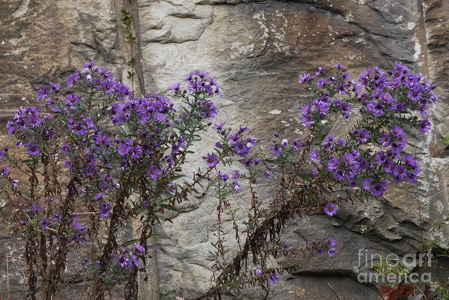 Wildflowers Photograph - Autumn Asters by Randy Bodkins