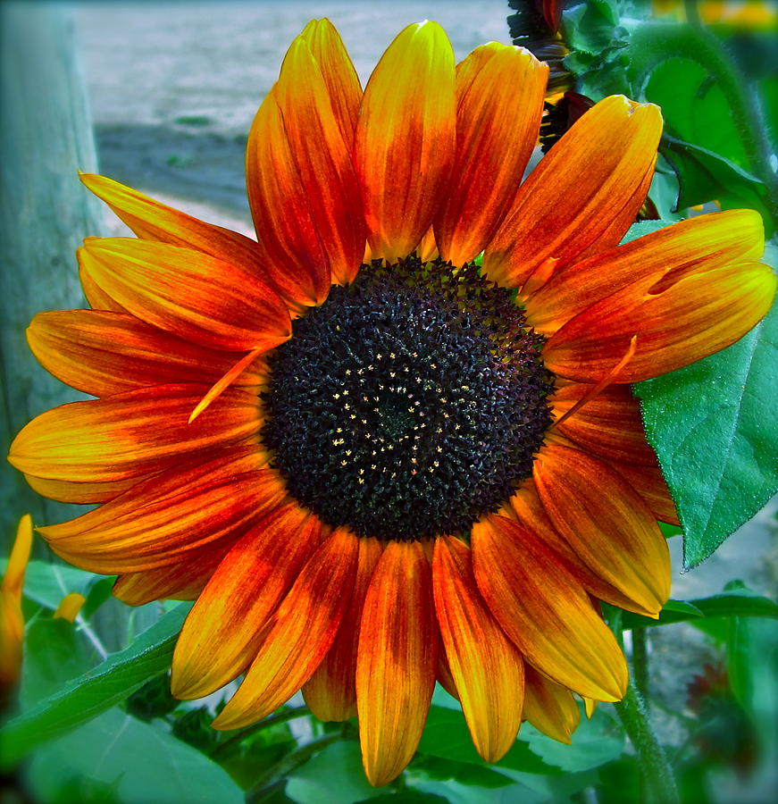 Sunflower Photograph - Autumn Blessing by Gwyn Newcombe
