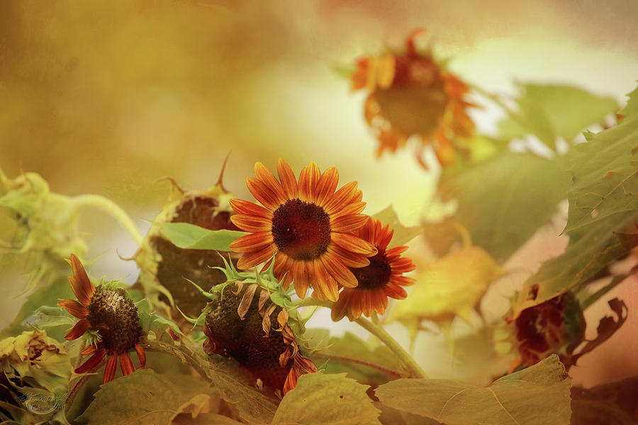 Sunflower Photograph - Autumn Blessings by Theresa Campbell