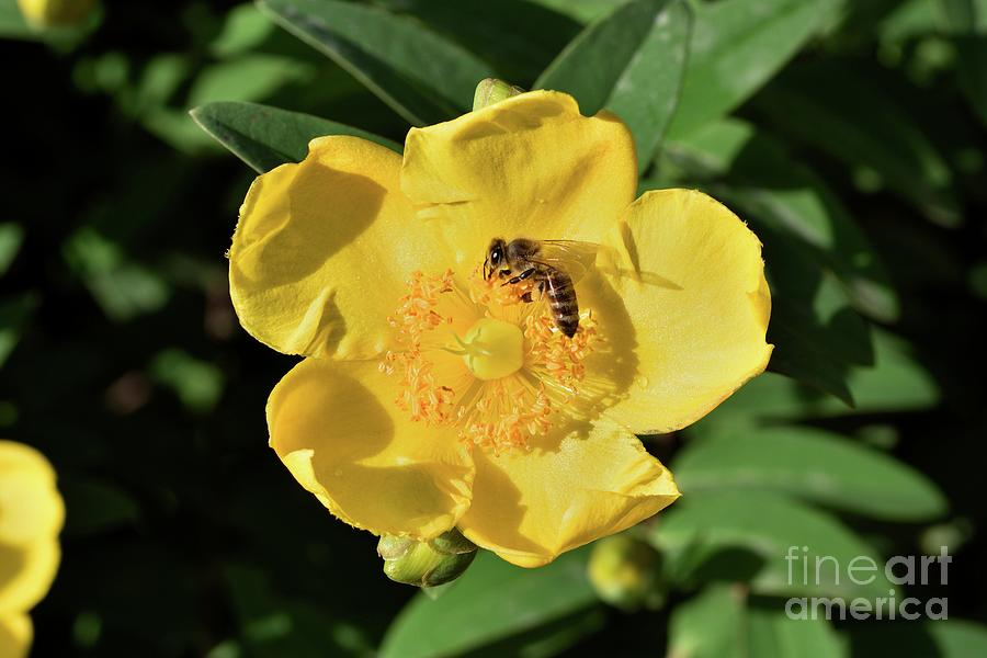 Autumn Buttercup With Bee Photograph by George Atsametakis